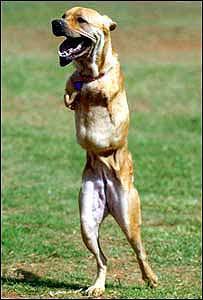 Двуногая собака (12.37КиБ)