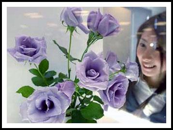 Голубая роза (24.17КиБ)